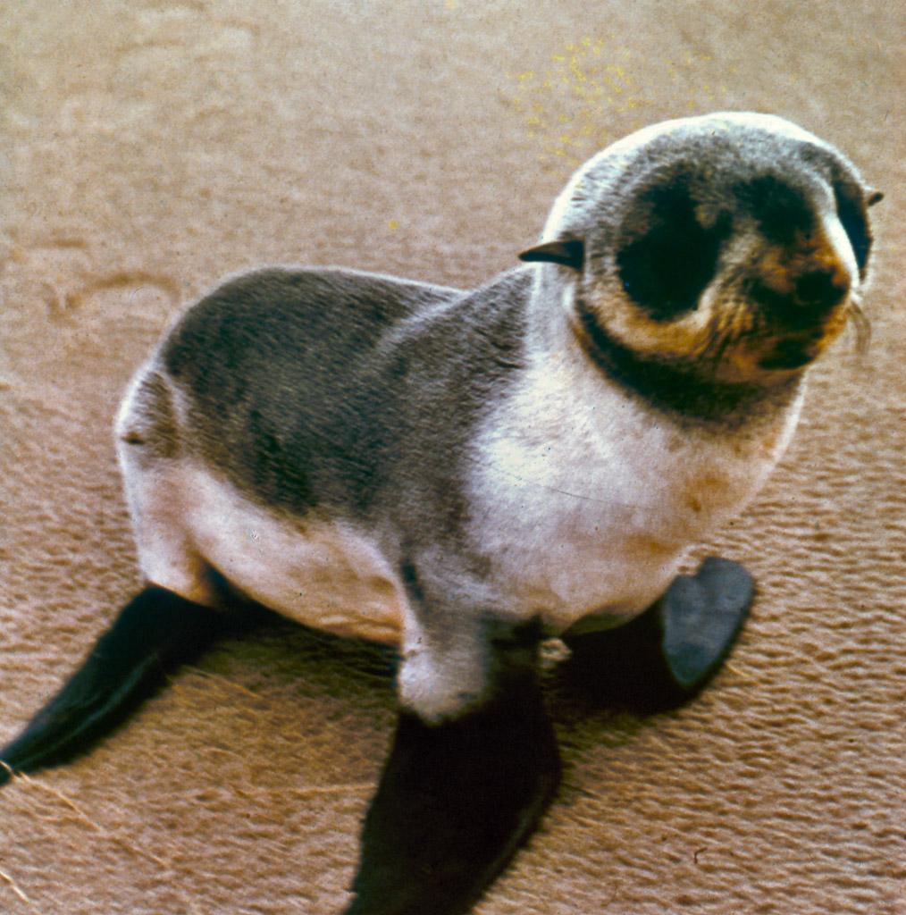 03-Fur-Seal-pup
