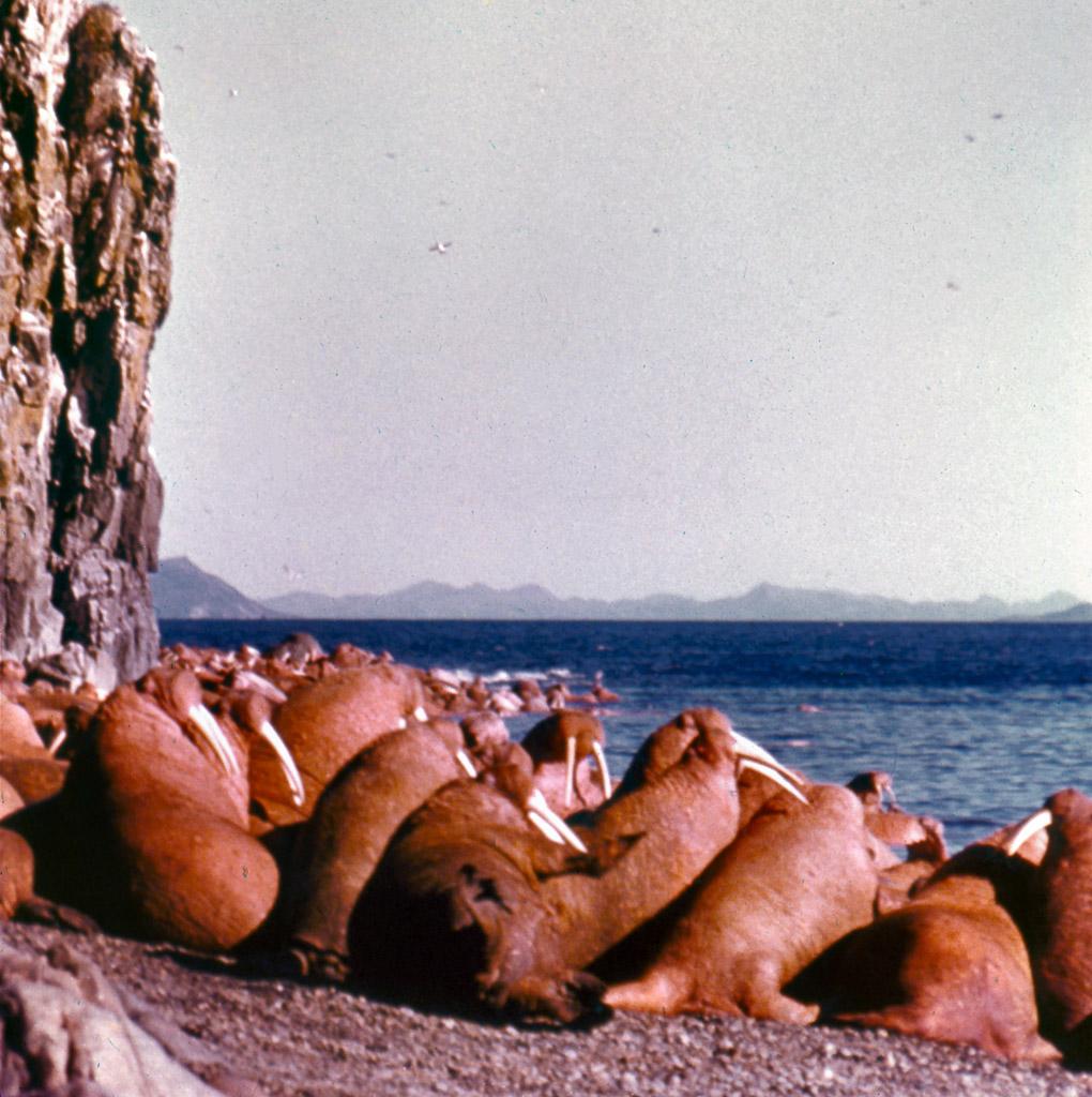 04-Walrus-Island