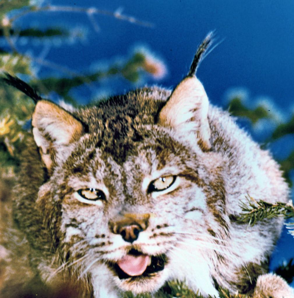 11-Lynx