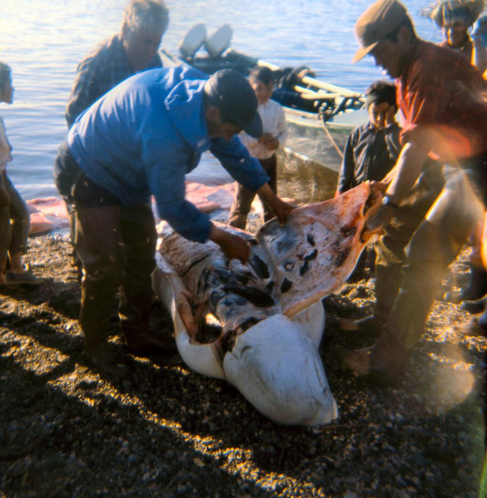 135-Butchering-beluga