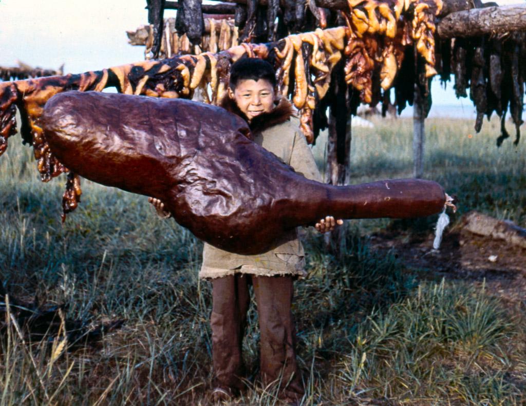 1950s Boy with dried beluga whale belly. Kotzebue AK.