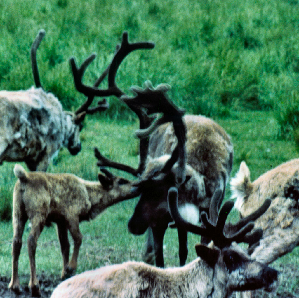 1950s Reindeer near Kotzebue.