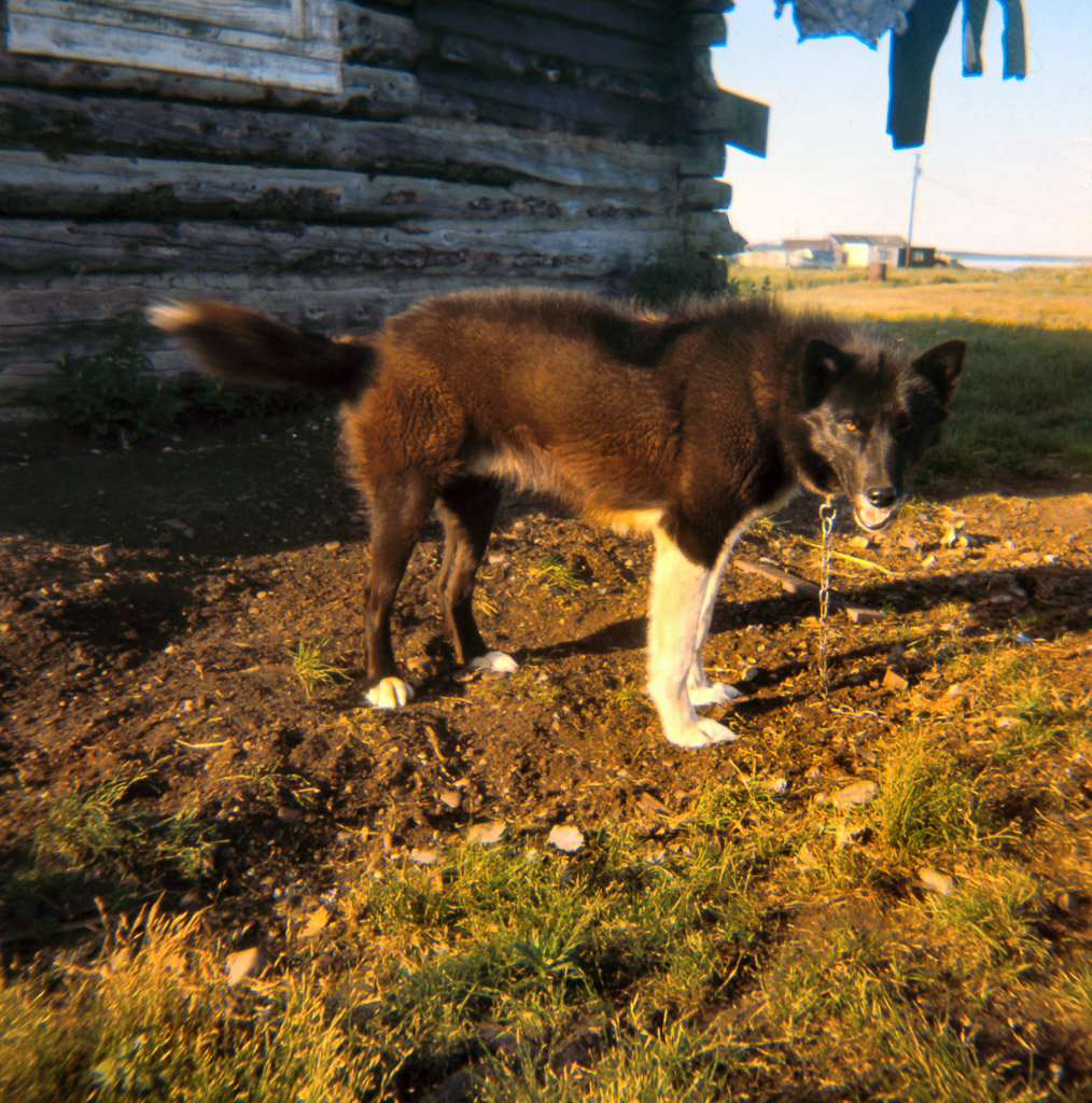 1960s Our dog named Sno-Traveler near Lena Saterlees Kotzebue house where we stayed several summers.