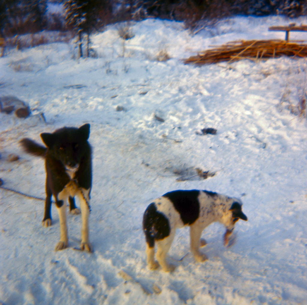 1960s Two of our sled dogs