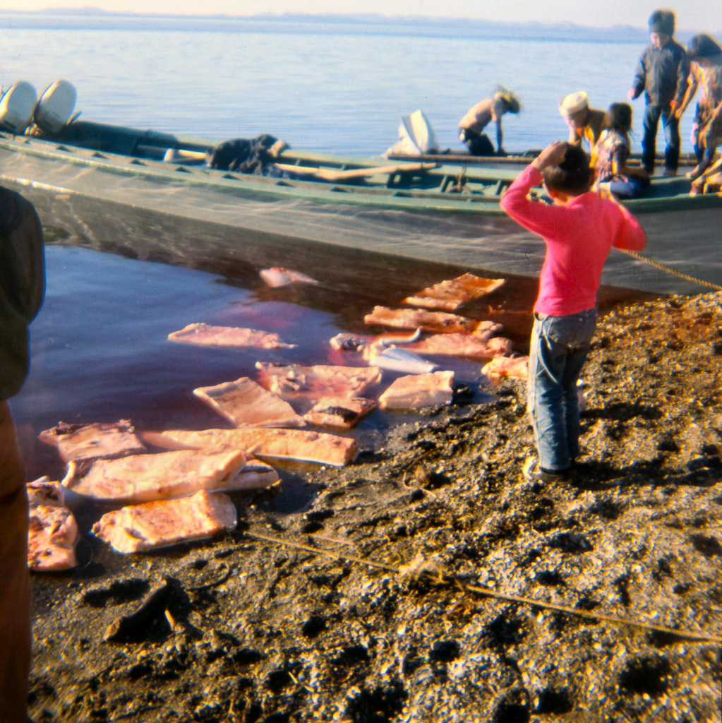 1960s Washing muktuk ( white whale blubber and skin) in Kotzebue sound.