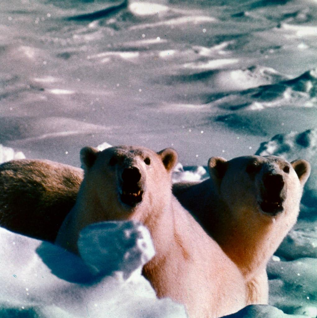 Two-Polar-Bears