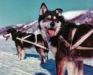 101-Husky-dogs