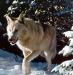13-Wolf