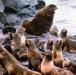 1960s, Kotzebue. Fur Seal harem
