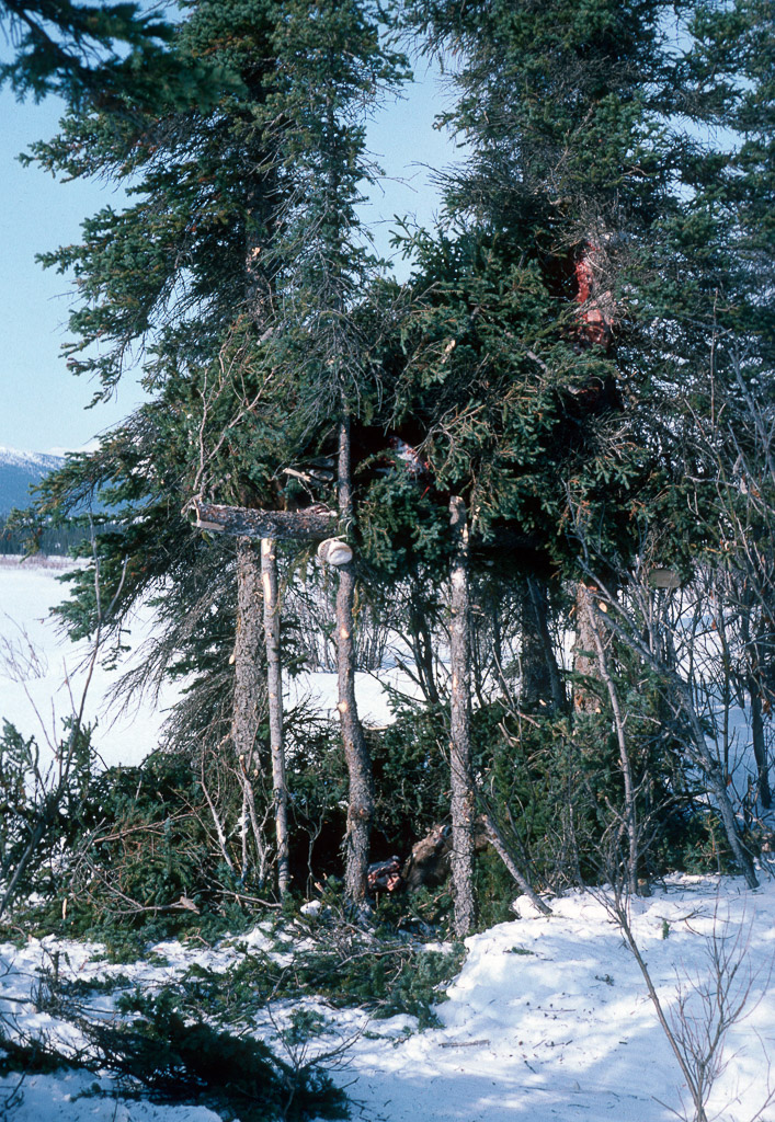 Temporarty cache for moose meat