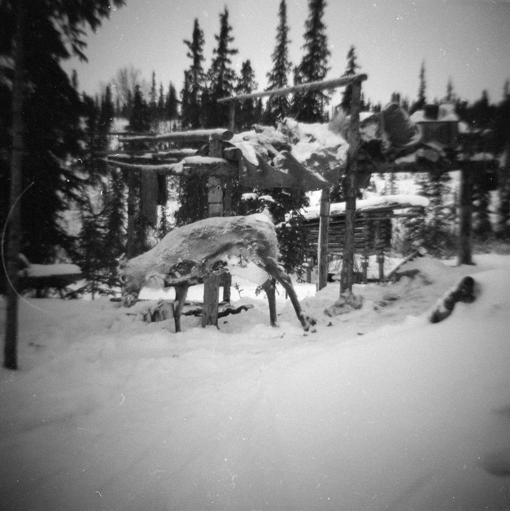 1970 Frozen caribou propped against cache