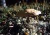 Wild mushroom near caribou lichen.